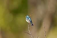 A male Lazuli Bunting sky blue color head and back reddish brown breast and a white belly also has two white wing bars.