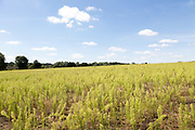 White cumulus clouds blue sky summer landscape field in countryside, Martlesham, Suffolk, England, UK