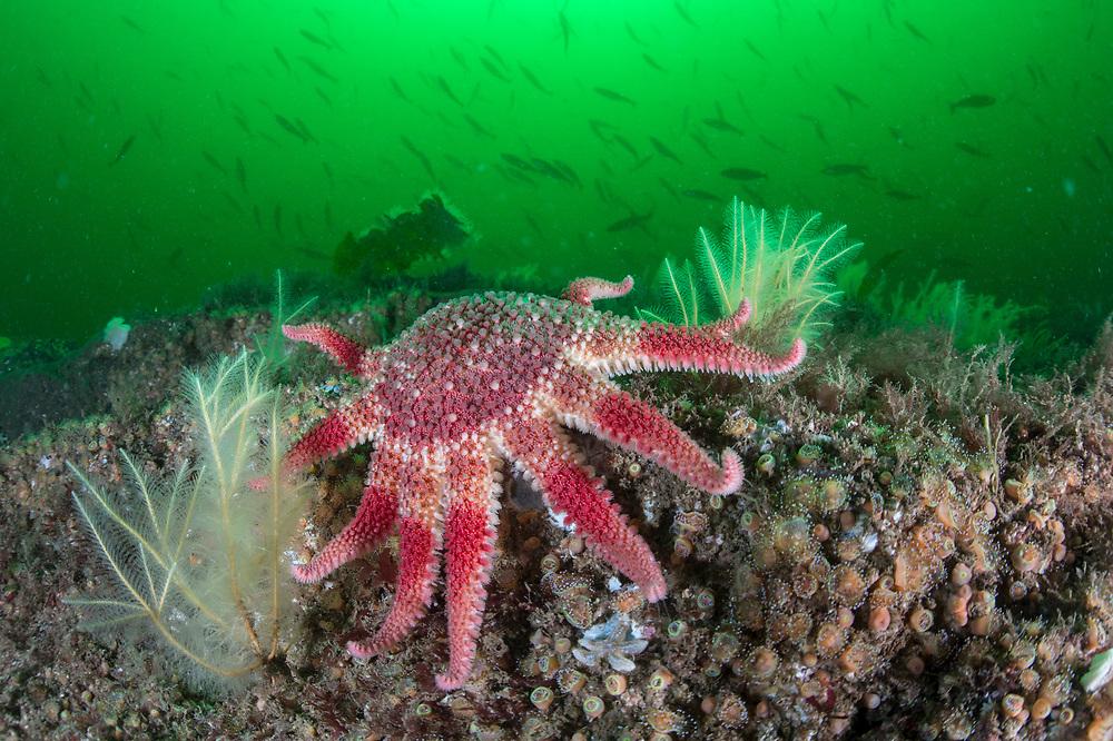 common sunstar (Crossaster papposus) amongst hydroids (Nemertesia ramosa) and jewel anemones (Corynactis viridis).