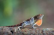 Anolis lizard shedding skin; Puerto Rico