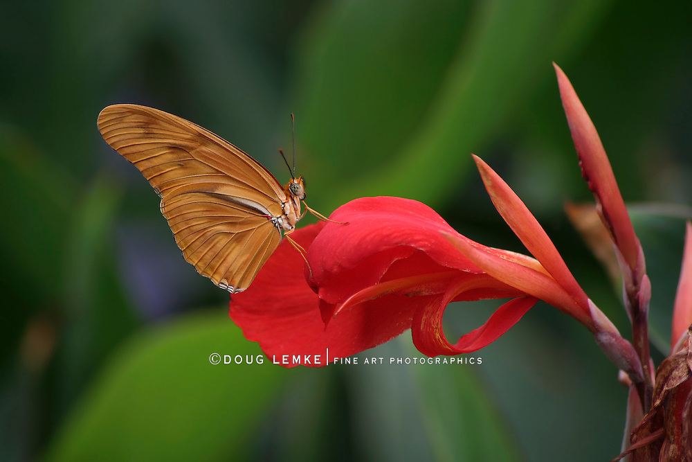 Butterfly, Dryas iulia, Julia Heliconian, Nectaring On A Red Flower, Longwing