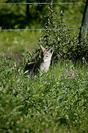 © 2008 Randy Vanderveen, all rights reserved.British Columbia .A fox kit plays along the fence line of a pasture near the Heritage Highway which runs between Dawson Creek and Tumbler Ridge, B.C..