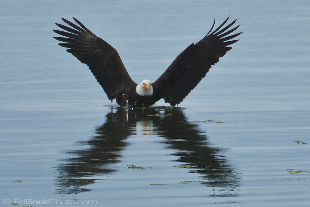 Bald Eagle (Haliaeetus leucocephalus) (Halietus leucocephalus) lands in the Hood Canal