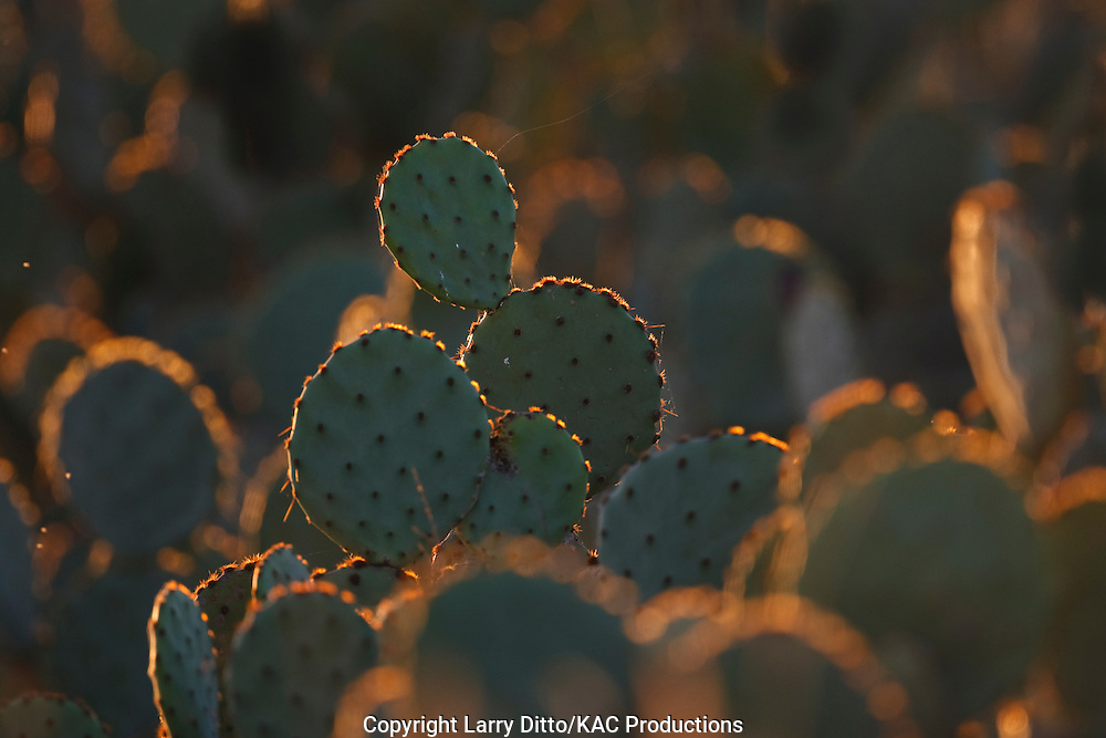 Prickly Pear Cactus (Opuntia sp.) at sunset, south Texas