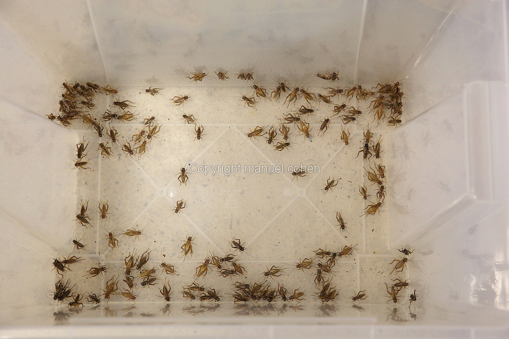 Female crickets bred to feed the lizards and other species housed in the Vivarium, a controlled area for observing and researching animals, at the new Parc Zoologique de Paris or Zoo de Vincennes, (Zoological Gardens of Paris or Vincennes Zoo), which reopened April 2014, part of the Musee National d'Histoire Naturelle (National Museum of Natural History), 12th arrondissement, Paris, France. Picture by Manuel Cohen