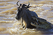 Nile Crocodile<br /> Crocodylus niloticus<br /> Maasai Mara Reserve, Kenya<br /> Attacking wildebeest in Mara River