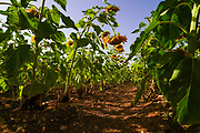 a row of sunflowers in an agricultural field. Photographed in Israel in June