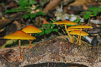 Fungi growing from decaying log on the Amazon rainforest floor; Yasuni National Park, Ecuador