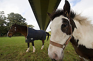Horses in a field under the Humber bridge ..., Travel, lifestyle