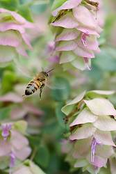 A bee pollinating delicate Ornamental Oregano plants.