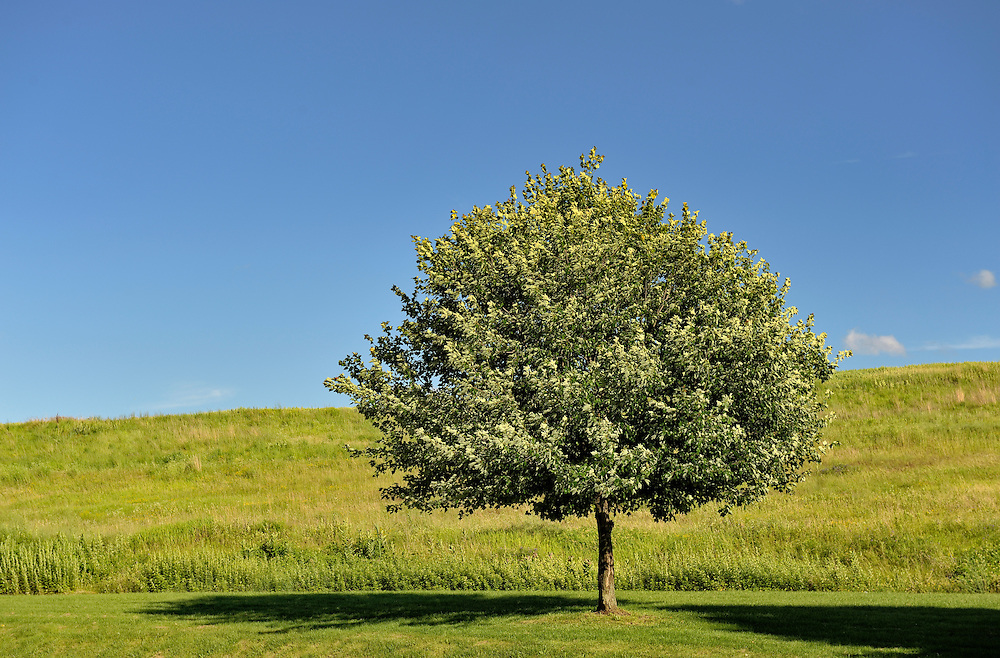 Tree in a field of green grass with a clear blue sky in the summer