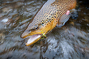 Releasing a brown trout caught using a streamer on the South Fork of the Snake River, Idaho.