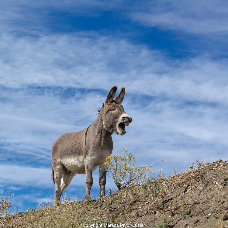 Wild Burro calling, Cimarron, New Mexico