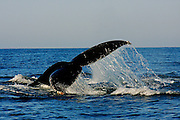 Every winter Humpback whales migrate to the Bay of Banderas Mexico to give birth to their calves and gain extra  blubber and strength ,before migrating north to feeding grounds.