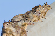 A family of california ground squirrels lines up along a curb