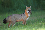 Gray fox carrying prey in summer habitat.
