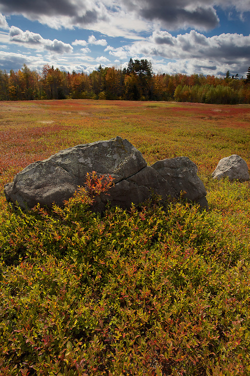Flaming fall color lights up the blueberry fields near cherry field, Maine