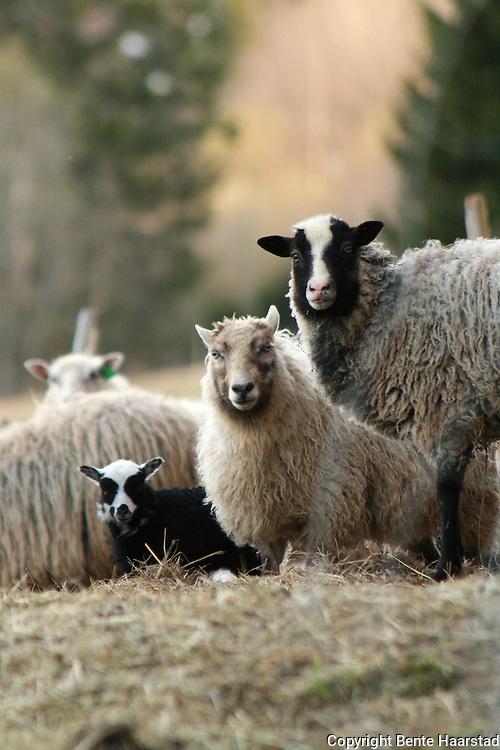 Norwegian sheeps, many of them are endangered spieses. Norsk sau. Villsau, også kalt utgangersau.
