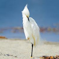 Snowy Egret resting on beach at Malibu  lagoon.