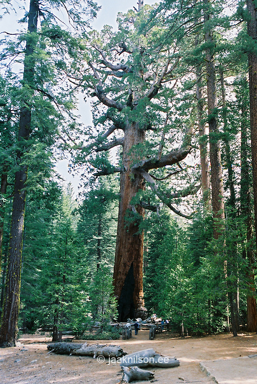 Sequoia in Mariposa Grove, Yosemite National Park, California, USA