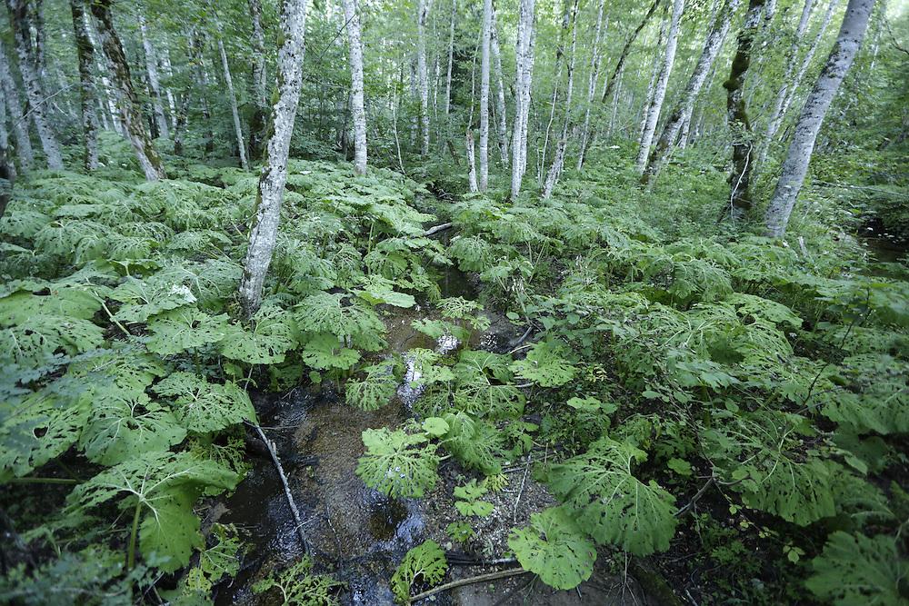 'Lopur' leaves in 'Biogradska Gora', virgin forest, Montenegro.