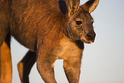A common wallaroo or euro (Macropus robustus erubescens) shows its tongue slightly in anticipation of the waterhole, Sturt Stony Desert, New South Wales,  Australia