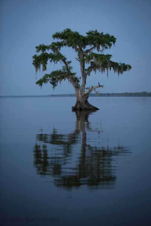 Cypress tree in Lake Maurepas, a brackish tidal estuarine sytem is south Louisiana