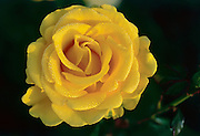 yellow rose with dew drops close-up
