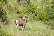 A Bighorn sheep ram walks along a mountain slope in the Rocky Mountain National Park in Estes Park, Colorado.