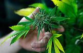 Marijuana Legal in Colorado - stock photos