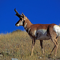 American pronghorns - Antilocapra americana