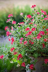 Pelargonium 'Shrubland Rose' in a metal container.