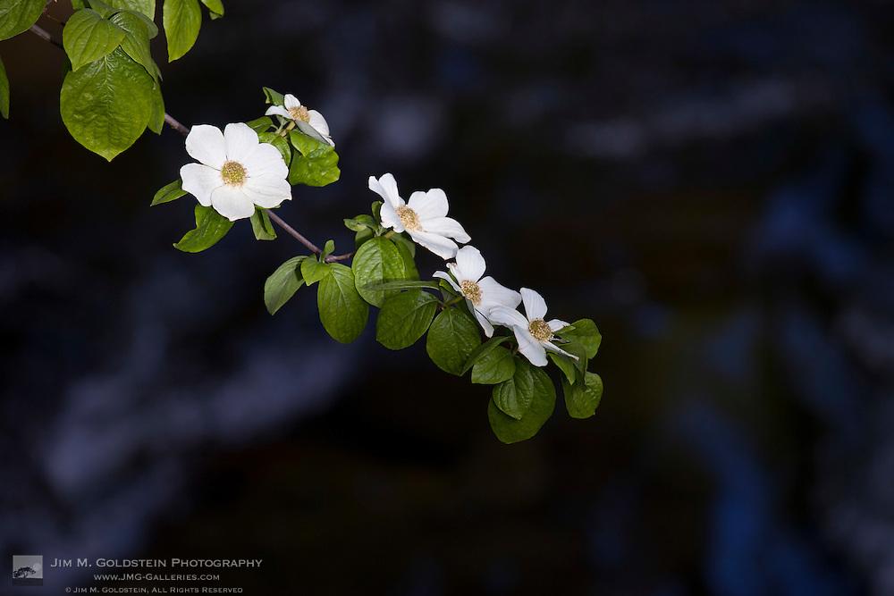 Pacific Dogwood blossoms (Cornus Nuttallii) above the Merced River - Yosemite National Park, California