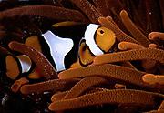 Percula Clownfish, Amphiprion percula.