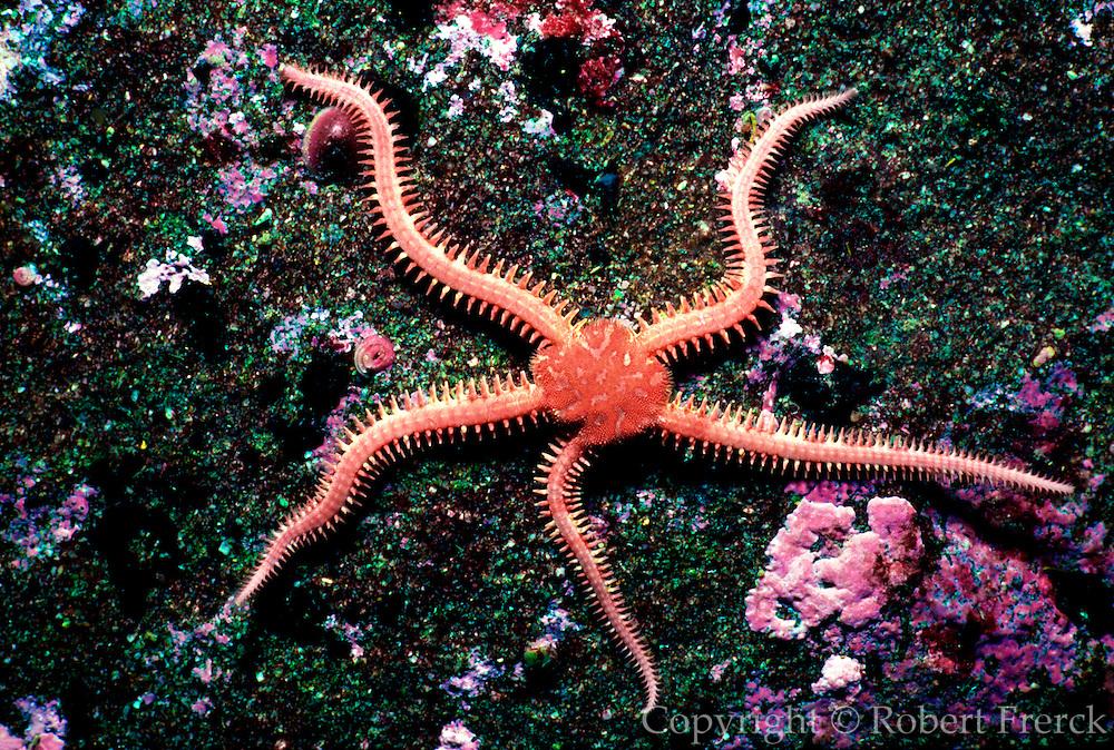 UNDERWATER MARINE LIFE EAST PACIFIC: Northeast SEA STARS: Brittlestar Ophiuroidea