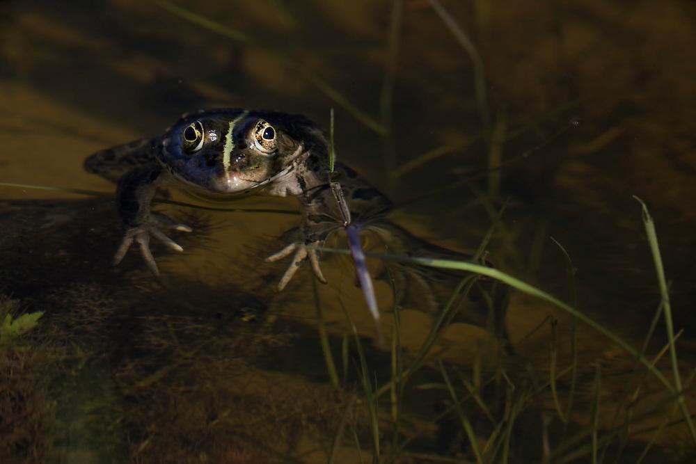 Marsh frog (Rana ridibunda). Bastasi area, Livansko Polje -  karst plateau.: arguably the largest karst field in the world. Ramsar site. May 2009. Bosnia-Herzegovina.<br /> Elio della Ferrera / Wild Wonders of Europe