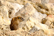 Rock Hyrax, (Procavia capensis) Photographed in Israel, Judean Desert, in February