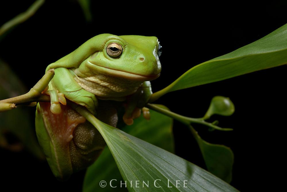 Australian Green Tree Frog (Litoria caerulea)