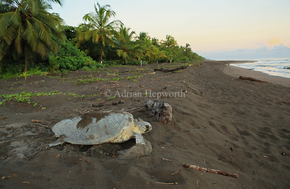 Female green turtle (Chelonia mydas) covering her nest at sunrise in Tortuguero National Park, Costa Rica.