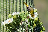 Immature Male Bullock's Oriole (Icterus bullockii) feeding on flowers of the Saguaro (Carnegiea gigantea). Arizona