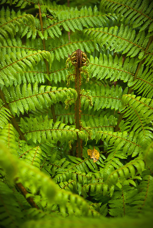 A new frond emerges from the centre of a crepe fern surrounded by mature leaves, Milford Track, New Zealand