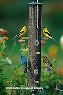 00585-01319 American Goldfinches (Carduelis tristis) and Indigo Bunting (Passerina cyanea) on thistle feeder, Marion Co. IL