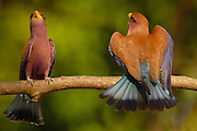 Broad-billed Roller (Eurystomus glaucurus) male and female in courtship display, western deciduous forest, Ankarafantsika National Park, Madagascar