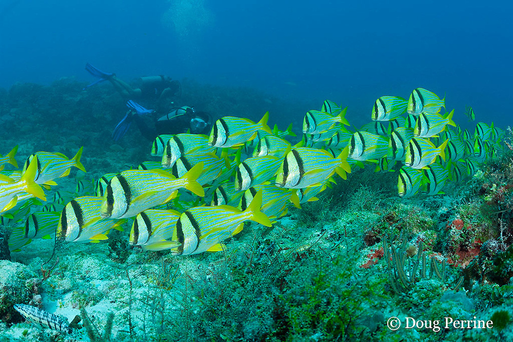 divers view a river of porkfish, Anisotremus virginicus, flowing in a school across a shallow reef, Playa del Carmen, Cancun, Quintana Roo, Yucatan Peninsula, Mexico ( Caribbean Sea )