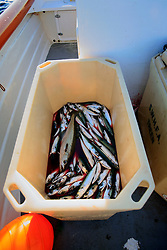 UK ENGLAND CORNWALL SENNEN COVE 11JUN08 - Box of Mackerel caught by handline fisherman Will Treneer (19) of Newlyn off the coast of south-west Cornwall on his boat, the Cornish Rose...jre/Photo by Jiri Rezac / WWF UK..© Jiri Rezac 2008..Contact: +44 (0) 7050 110 417.Mobile:  +44 (0) 7801 337 683.Office:  +44 (0) 20 8968 9635..Email:   jiri@jirirezac.com.Web:    www.jirirezac.com..© All images Jiri Rezac 2008 - All rights reserved.