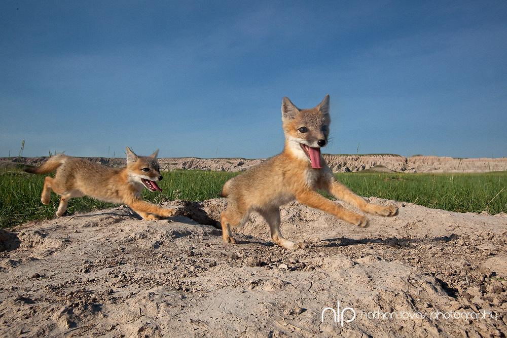 Swift Fox Kits Playing, taken in South Dakota in the wild.