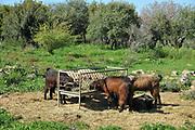 Experimental goat farm at Ramat Hanadiv gardens near Zichron Ya'acov, Mount Carmel, Israel