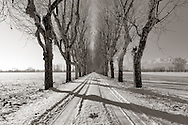 An alley of plane trees in the country side nearby Pinerolo in Piedmont, Italy, with the Alps in the background. Taken an early morning of January, after a snow fall, this is stitched from four vertical frames.