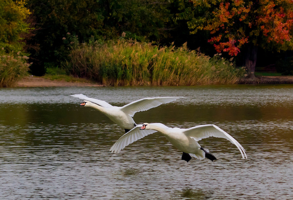 Coming in for a landing on a beautiful Fall day.