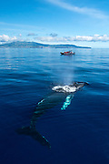 A Humpback Whale, Megaptera novaeangliae, surfaces to breath with a whale watching boat and Faial Island in the background, Azores autonomous region, Portugal, North Atlantic Ocean. Image available as a premium quality aluminum print ready to hang.